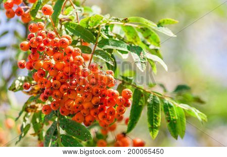 a branch of orange mountain ash in summer on a sunny day, sunlight shines on a plant, a blue light sky with blurred green branches in the background, close-up, rowan in the left corner photo,