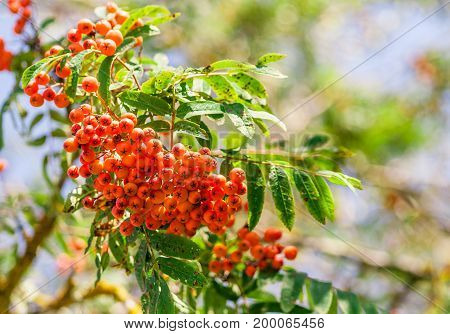 a branch of orange mountain ash in summer on a sunny day, sunlight shines on a plant, a blue light sky with blurred green branches in the background, rowan in the left corner photo,