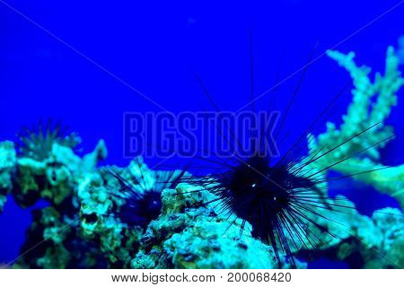 Sea hedgehog in an aquarium. Blue water