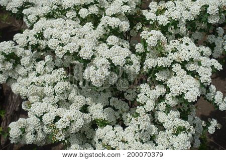 Shrub Of Spiraea Vanhouttei In Full Bloom