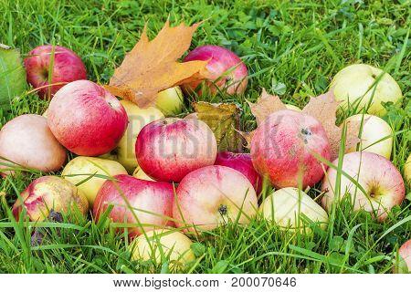 Autumn apples in grass in autumn day
