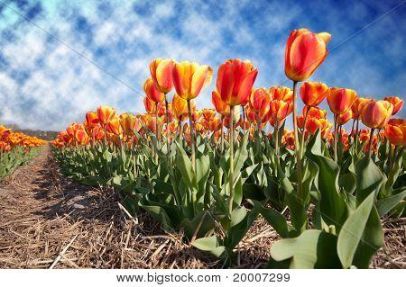 Red yellow tulip field