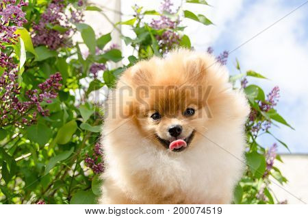 Portrait of a dog on a background of blossoming lilacs. Pomeranian puppy.