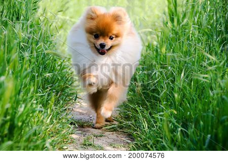 A happy Pomeranian puppy runs along a lighted sunny path in the summer garden.