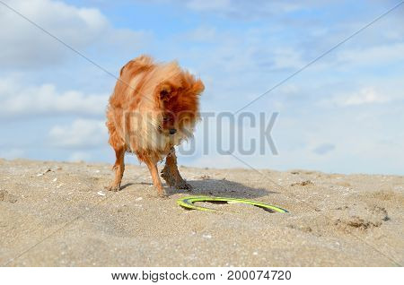 The funny puppy Spitz plays with a boomerang gets wet and gets dirty in the sand.