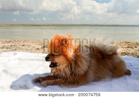 The dog lies on the litter on the shore of the lake hot summer.
