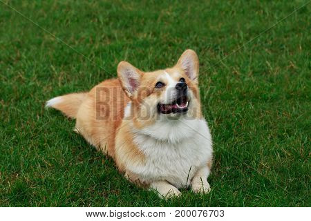 Dog breed Welsh Corgi Pembroke on the green grass