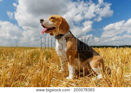 Beagle dog on stubble wheat field on a Sunny summer day