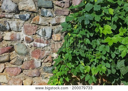 Raw medieval stone wall and green hedge