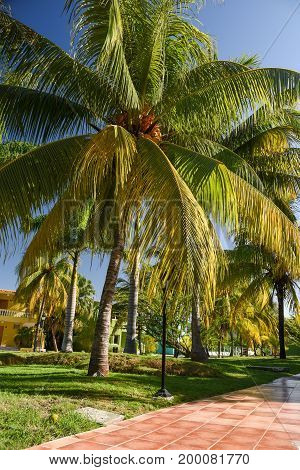 Coconut Palm Trees in tourist resort in Cuba