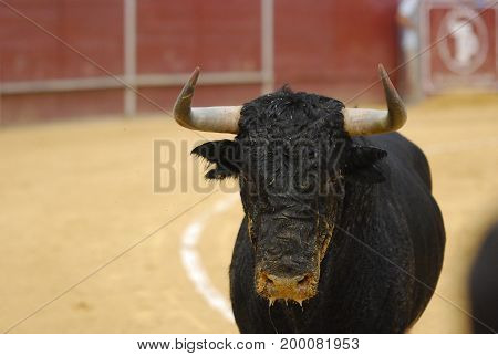 bull spanish with big horns in bullring