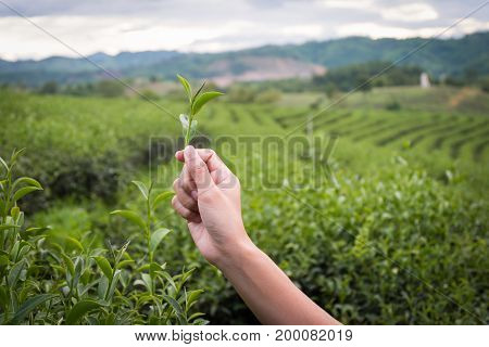 Green tea bud and fresh leaves.Handle with leaves tea.Tea plantations. Chui Fong Farm Chiang RaiThailand