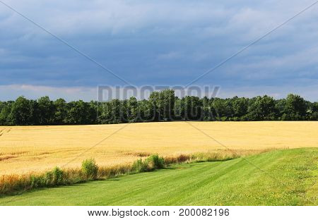 Wheat field and approaching rain in North Western New York