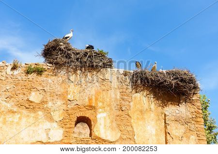 Four Storks standing on a sunny day in their nests on an ancient yellow stone wall.
