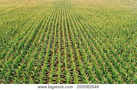 Aerial view on green corn field at the summer