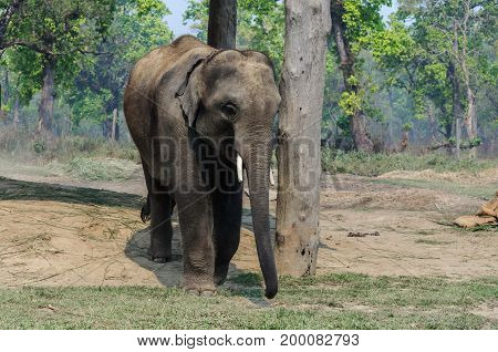 Elephant on chain in Chitwan National Park, Nepal