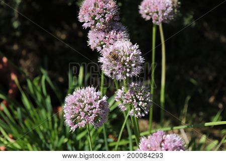 Close up macro of wild broadleaf chives, allium senescens, growing on a sunny day in organic garden. Blurred background