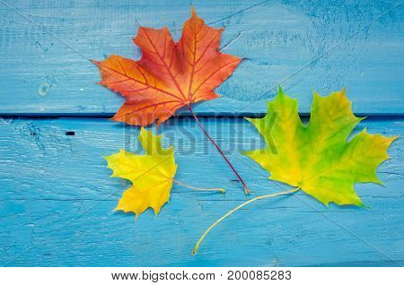 Autumn leaf life cycle. Autumn background with colorful fall maple leaves on blue wooden table. Life cycle of fall leaf. Thanksgiving holidays concept. Green yellow and red autumn leaves. Top view.