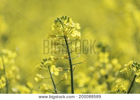 Flowering oilseed rapeseed. Yellow field. Agriculture industry