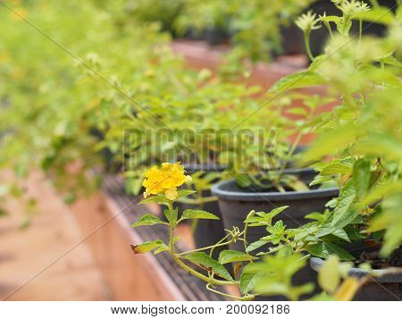 focus of yellow lantana flower with blur green leaf background.
