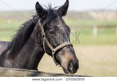 Dark brown horse head detail with bridle, animal