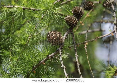 Larch cone branch with green needle, nature