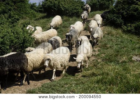 Herd of sheep in the forest sky trees