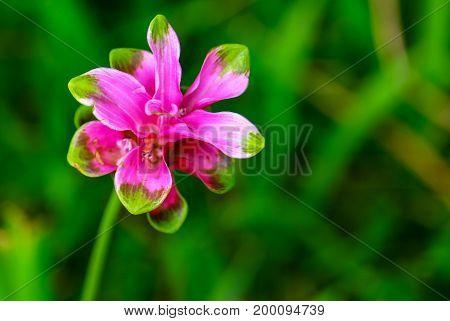 siam tulip flowers in the rainy season