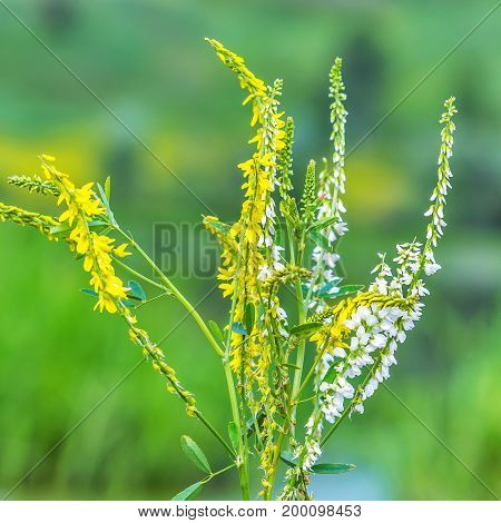 Wild plants of Melilotus Officinalis (lat. Melilotus officinalis) and white sweet Clover (lat. Melilotus albus). Flowering plants closeup