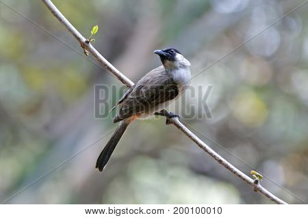 Sooty-headed Bulbul Pycnonotus Aurigaster Beautiful Birds Of Thailand