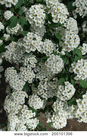 Small White Flowers Of Spirea Clustered Together In Umbrella-like Corymbs