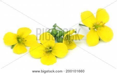 Fresh arugula or rucola flowers over white background