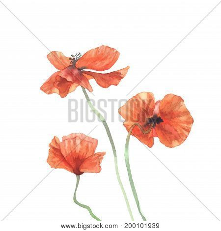 Three sunny poppies watercolor isolated. Valentine day