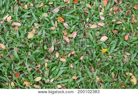 Dry leaves on green grass in autumn.