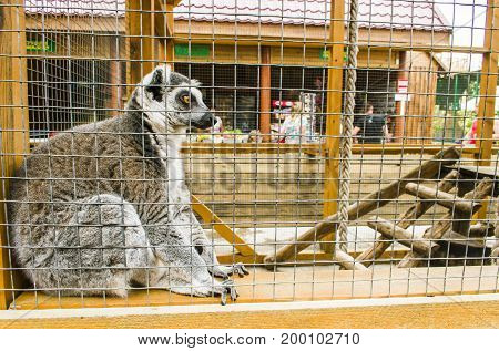 Lemur sits in the aviary and looks forward