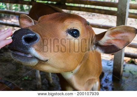 Young calf face, open corral at ranch