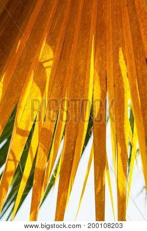 Palm tree yellow leaf autumn background.