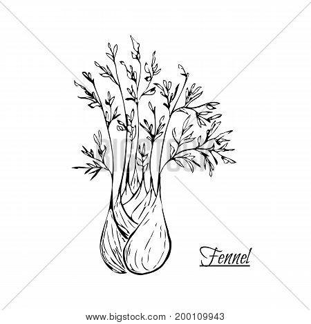 Absinthe Ingredients. Fresh Sweet Fennel (foeniculum Vulgare). Hand Draw.