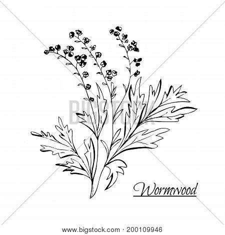 Absinthe Ingredients. Fresh Grand Wormwood (artemisia Absinthium). Hand Draw