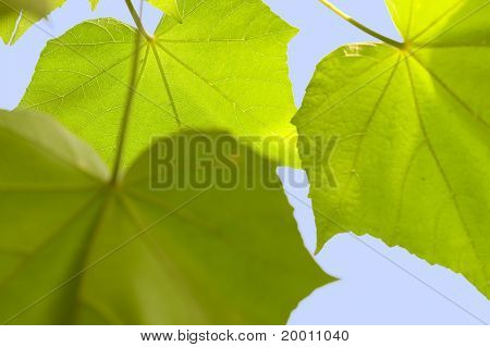 detail of backlighting leaves