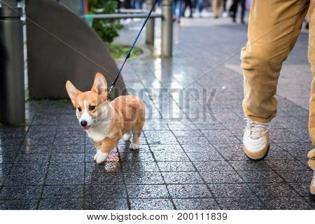 The Pembroke Welsh Corgi dog on the walk in Japan