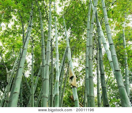 green bamboo groves