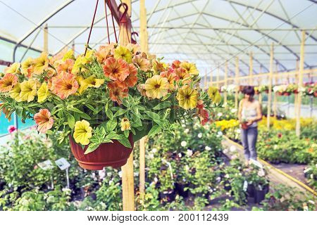 Petunia in hanging pot on the foreground and a woman buyer choosing plants on the blurred background
