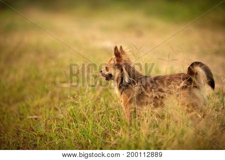 Long hair Chihuahua standing on the glittering yellow meadow