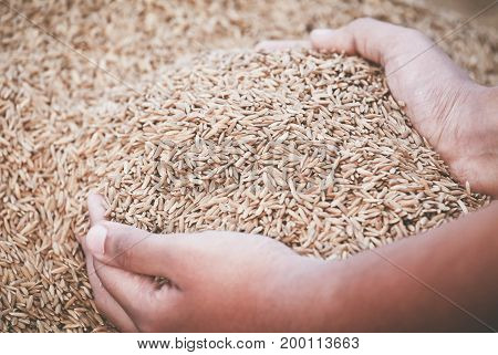 Hand holding newly harvested paddy seeds in Indian subcontinent