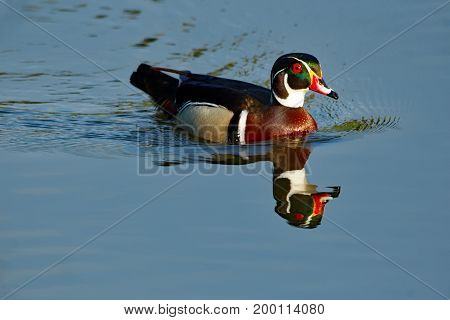 A Wood Duck Drake in breeding plumage floats on the calm waters. The calm water reflects the drake brilliantly.