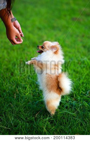Pomeranian puppies playing with the owner by standing two legs on field