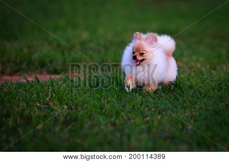Pomeranian puppies running in green lawns happily