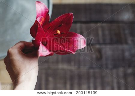 Red Lily Flower In Hand At Metal Tray On Wooden Background. Beautiful Bloom On Rustic Wood Backdrop.