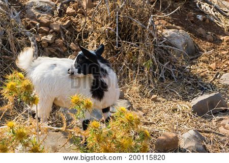 View on a little Mountain Goat in the Wilderness. Close-up of a young Mountain Goat on a sunny Day. Animal Background